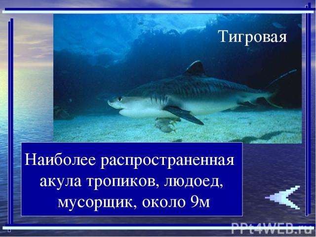 Наиболее распространенная акула тропиков, людоед, мусорщик, около 9м