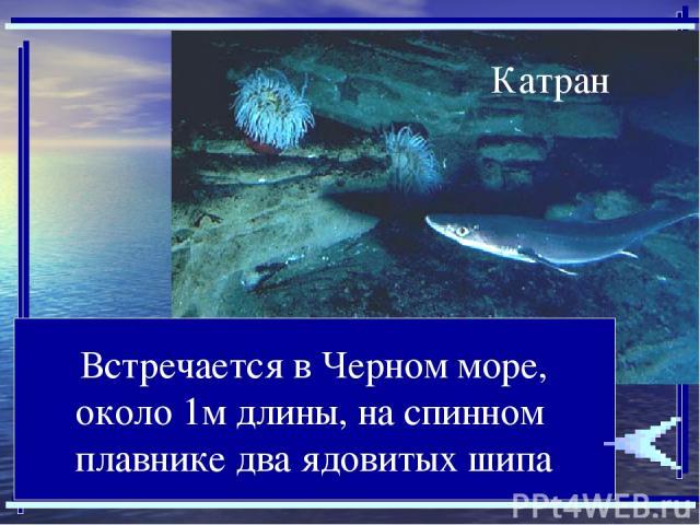 Встречается в Черном море, около 1м длины, на спинном плавнике два ядовитых шипа