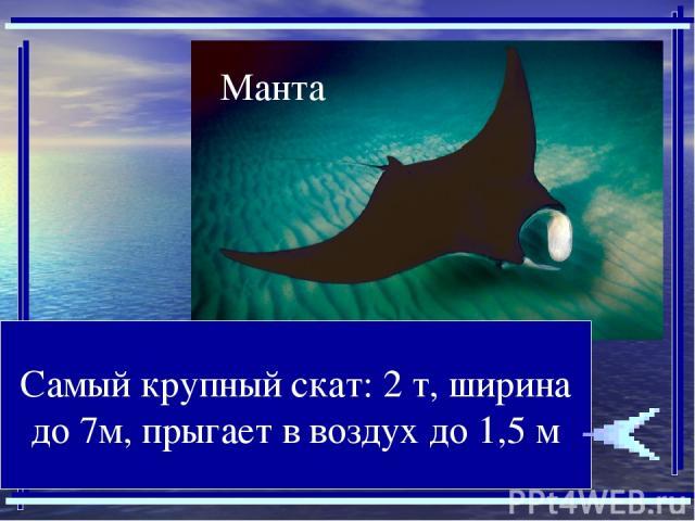 Самый крупный скат: 2 т, ширина до 7м, прыгает в воздух до 1,5 м