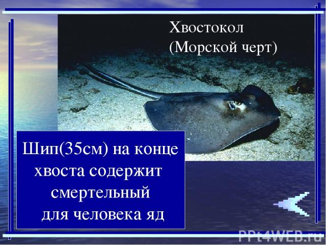 Шип(35см) на конце хвоста содержит смертельный для человека яд
