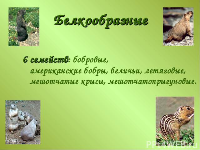 Белкообразные 6 семейств: бобровые, американские бобры, беличьи, летяговые, мешотчатые крысы, мешотчатопрыгуновые.