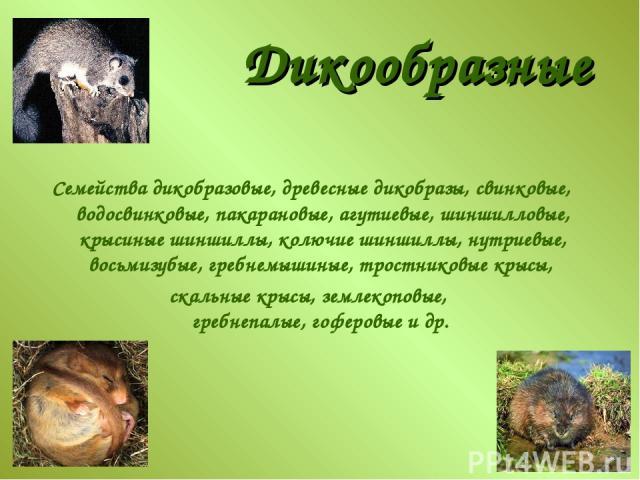 Дикообразные Семейства дикобразовые, древесные дикобразы, свинковые, водосвинковые, пакарановые, агутиевые, шиншилловые, крысиные шиншиллы, колючие шиншиллы, нутриевые, восьмизубые, гребнемышиные, тростниковые крысы, скальные крысы, землекоповые, гр…