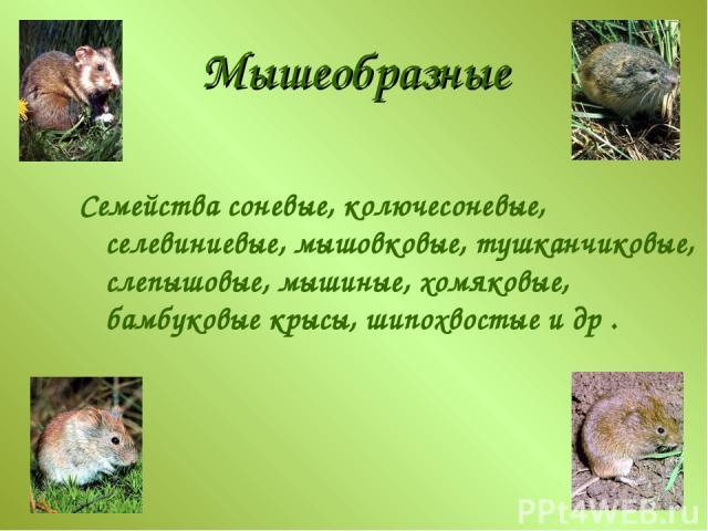 Мышеобразные Семейства соневые, колючесоневые, селевиниевые, мышовковые, тушканчиковые, слепышовые, мышиные, хомяковые, бамбуковые крысы, шипохвостые и др .