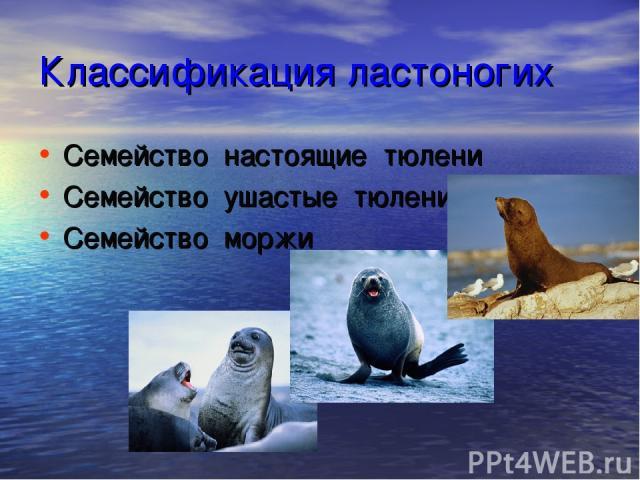 Классификация ластоногих Семейство настоящие тюлени Семейство ушастые тюлени Семейство моржи
