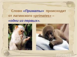 * Слово «Приматы» происходит от латинского «primates» – «одни из первых».