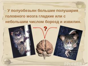 * У полуобезьян большие полушария головного мозга гладкие или с небольшим числом