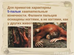 * Для приматов характерны 5-палые хватательные конечности. Фаланги пальцев оснащ