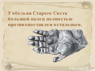 * У обезьян Старого Света большой палец полностью противопоставлен остальным.