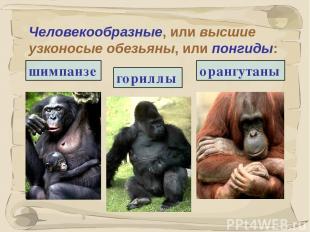 * Человекообразные, или высшие узконосые обезьяны, или понгиды: гориллы шимпанзе