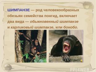 * ШИМПАНЗЕ — род человекообразных обезьян семейства понгид, включает два вида —