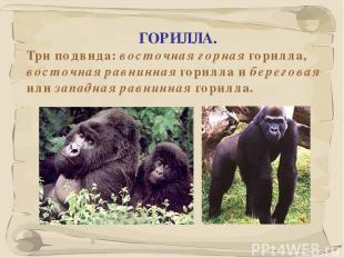 * ГОРИЛЛА. Три подвида: восточная горная горилла, восточная равнинная горилла и