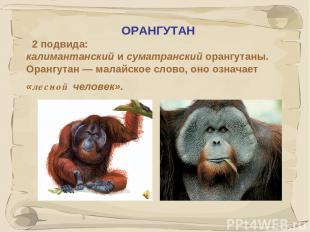 * ОРАНГУТАН 2 подвида: калимантанский и суматранский орангутаны. Орангутан — мал