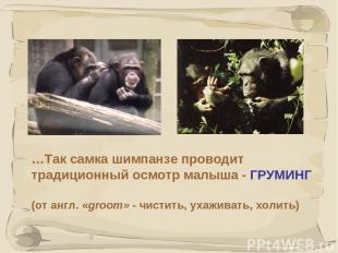 * …Так самка шимпанзе проводит традиционный осмотр малыша - ГРУМИНГ (от англ. «g