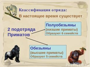 * Классификация отряда: В настоящее время существует Полуобезьяны (низшие примат