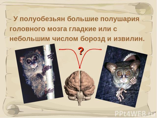 * У полуобезьян большие полушария головного мозга гладкие или с небольшим числом борозд и извилин. ?