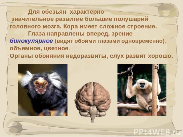 * Для обезьян характерно значительное развитие большие полушарий головного мозга. Кора имеет сложное строение. Глаза направлены вперед, зрение бинокулярное (видят обоими глазами одновременно), объемное, цветное. Органы обоняния недоразвиты, слух раз…