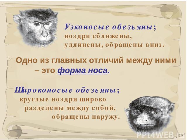 * Одно из главных отличий между ними – это форма носа. Узконосые обезьяны; ноздри сближены, удлинены, обращены вниз. Широконосые обезьяны; круглые ноздри широко разделены между собой, обращены наружу.