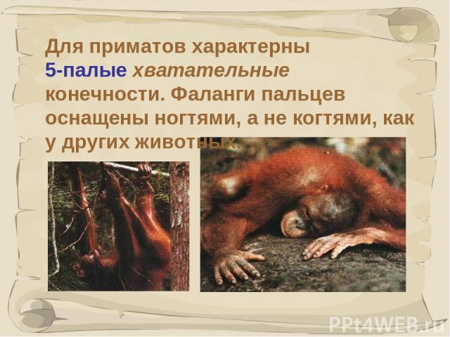 * Для приматов характерны 5-палые хватательные конечности. Фаланги пальцев оснащены ногтями, а не когтями, как у других животных.