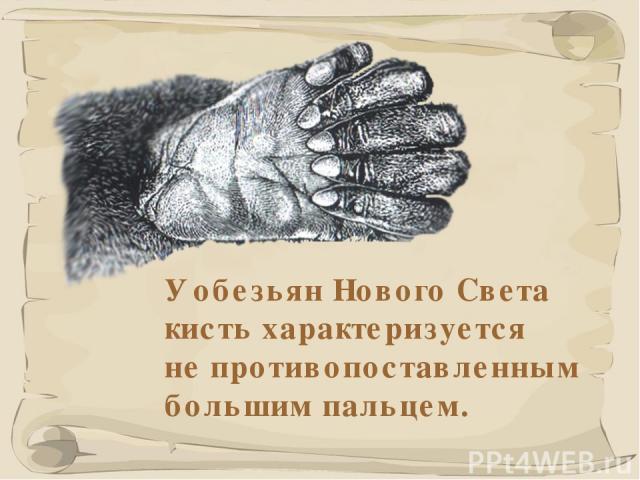 * У обезьян Нового Света кисть характеризуется не противопоставленным большим пальцем.