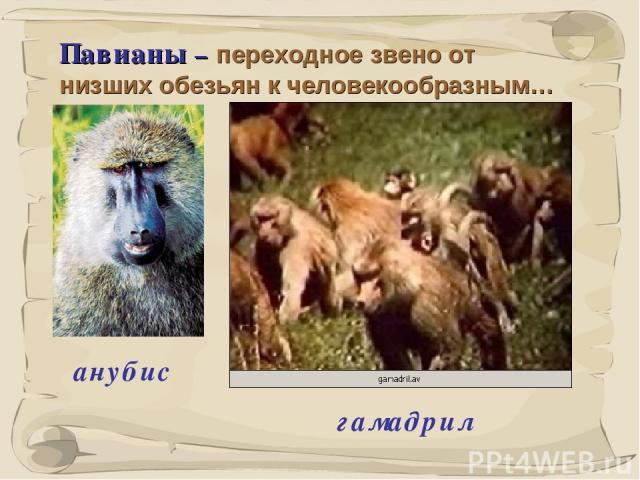 * Павианы – переходное звено от низших обезьян к человекообразным… анубис гамадрил