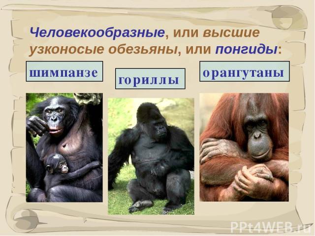 * Человекообразные, или высшие узконосые обезьяны, или понгиды: гориллы шимпанзе орангутаны