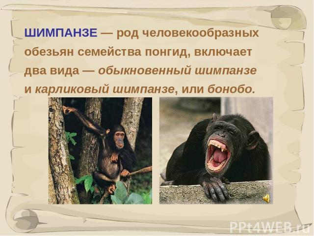 * ШИМПАНЗЕ — род человекообразных обезьян семейства понгид, включает два вида — обыкновенный шимпанзе и карликовый шимпанзе, или бонобо.