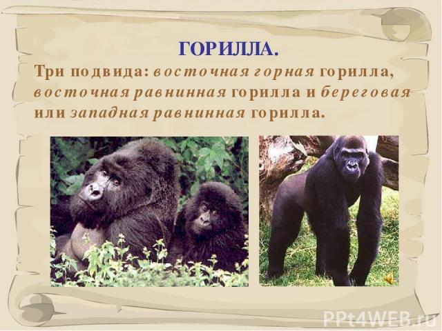 * ГОРИЛЛА. Три подвида: восточная горная горилла, восточная равнинная горилла и береговая или западная равнинная горилла.