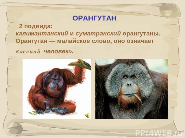 * ОРАНГУТАН 2 подвида: калимантанский и суматранский орангутаны. Орангутан — малайское слово, оно означает «лесной человек».