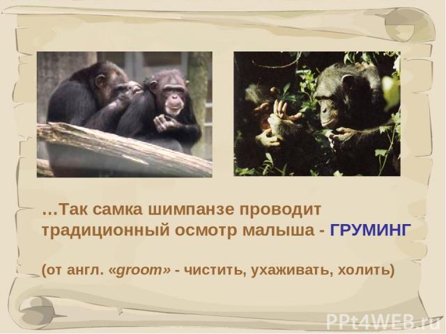 * …Так самка шимпанзе проводит традиционный осмотр малыша - ГРУМИНГ (от англ. «groom» - чистить, ухаживать, холить)