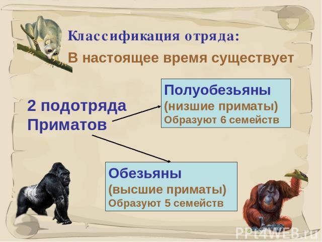 * Классификация отряда: В настоящее время существует Полуобезьяны (низшие приматы) Образуют 6 семейств Обезьяны (высшие приматы) Образуют 5 семейств 2 подотряда Приматов