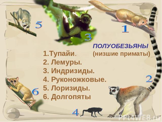 * ПОЛУОБЕЗЬЯНЫ (низшие приматы) 1.Тупайи. 2. Лемуры. 3. Индризиды. 4. Руконожковые. 5. Лоризиды. 6. Долгопяты