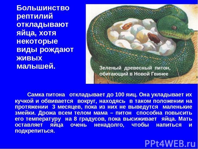 Большинство рептилий откладывают яйца, хотя некоторые виды рождают живых малышей. Зеленый древесный питон, обитающий в Новой Гвинее Самка питона откладывает до 100 яиц. Она укладывает их кучкой и обвивается вокруг, находясь в таком положении на прот…