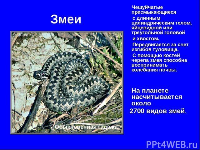Змеи Чешуйчатые пресмыкающиеся с длинным цилиндрическим телом, яйцевидной или треугольной головой и хвостом. Передвигается за счет изгибов туловища. С помощью костей черепа змея способна воспринимать колебания почвы. На планете насчитывается около 2…