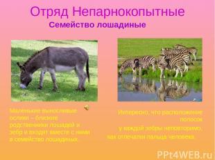 Отряд Непарнокопытные Интересно, что расположение полосок у каждой зебры неповто