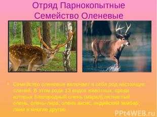 Отряд Парнокопытные Семейство Оленевые Семейство оленевые включает в себя род на