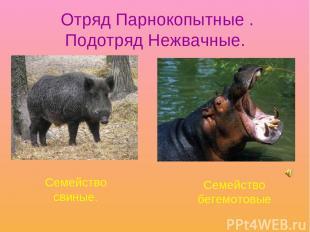 Отряд Парнокопытные . Подотряд Нежвачные. Семейство свиные. Семейство бегемотовы