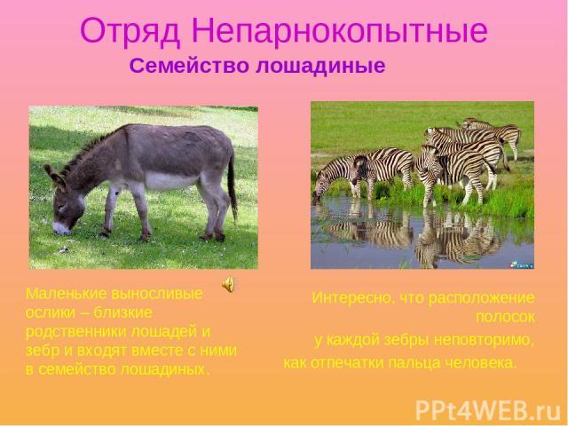 Отряд Непарнокопытные Интересно, что расположение полосок у каждой зебры неповторимо, как отпечатки пальца человека. Семейство лошадиные Маленькие выносливые ослики – близкие родственники лошадей и зебр и входят вместе с ними в семейство лошадиных.