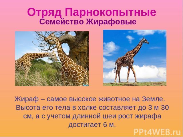 Отряд Парнокопытные Жираф – самое высокое животное на Земле. Высота его тела в холке составляет до 3 м 30 см, а с учетом длинной шеи рост жирафа достигает 6 м. Семейство Жирафовые