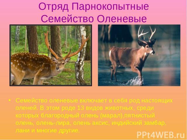 Отряд Парнокопытные Семейство Оленевые Семейство оленевые включает в себя род настоящих оленей. В этом роде 13 видов животных, среди которых благородный олень (марал),пятнистый олень, олень-лира, олень аксис, индийский замбар, лани и многие другие.
