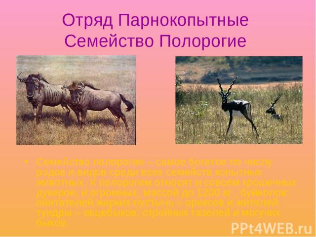 Отряд Парнокопытные Семейство Полорогие Семейство полорогие – самое богатое по числу родов и видов среди всех семейств копытных животных. К полорогим относят и совсем крошечных дукеров, и огромных, массой до 1200 кг , буйволов; обитателей жарких пус…