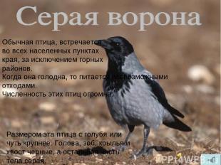 Обычная птица, встречается во всех населенных пунктах края, за исключением горны