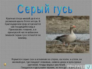 Kрупная птица массой до 6 кг и размахом крыла более метра. В Краснодарском крае