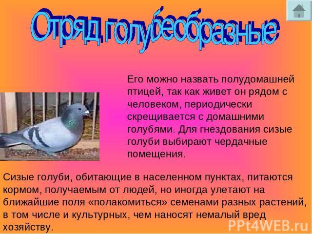 Его можно назвать полудомашней птицей, так как живет он рядом с человеком, периодически скрещивается с домашними голубями. Для гнездования сизые голуби выбирают чердачные помещения. Сизые голуби, обитающие в населенном пунктах, питаются кормом, полу…