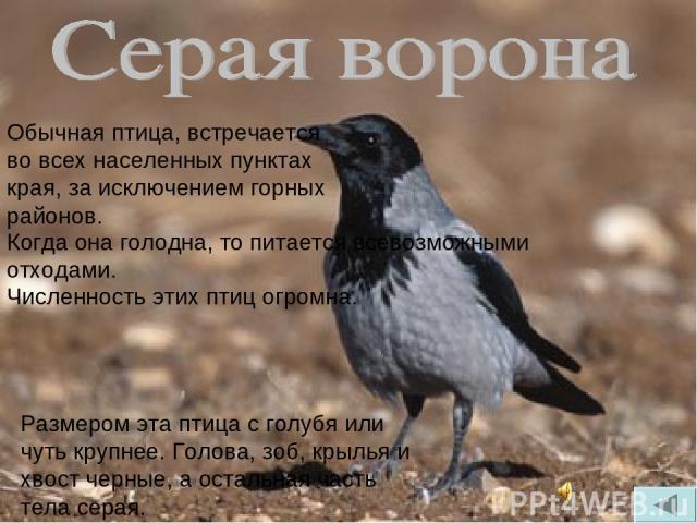 Обычная птица, встречается во всех населенных пунктах края, за исключением горных районов. Когда она голодна, то питается всевозможными отходами. Численность этих птиц огромна. Размером эта птица с голубя или чуть крупнее. Голова, зоб, крылья и хвос…