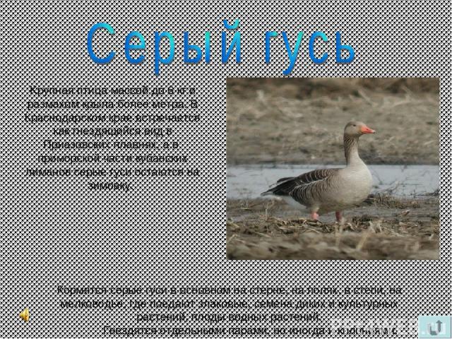 Kрупная птица массой до 6 кг и размахом крыла более метра. В Краснодарском крае встречается как гнездящийся вид в Приазовских плавнях, а в приморской части кубанских лиманов серые гуси остаются на зимовку. Кормятся серые гуси в основном на стерне, н…
