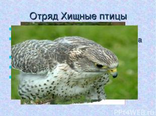 Отряд Хищные птицы Обитатели различных ландшафтов Ноги умеренной длины, у больши