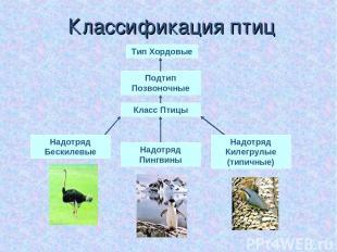 Классификация птиц Тип Хордовые Подтип Позвоночные Класс Птицы