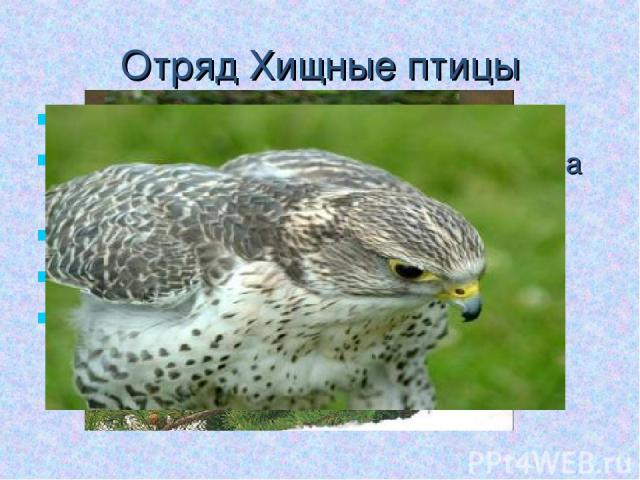 Отряд Хищные птицы Обитатели различных ландшафтов Ноги умеренной длины, у большинства с острыми когтями Клюв крючковидный, изогнутый Гнездовые Представители: ястреб, сокол, гриф