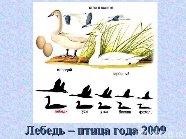 Лебедь – птица года 2009