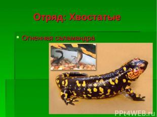 Отряд: Хвостатые Огненная саламандра